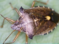 More of the shield bug
